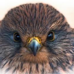 bird of prey portrait