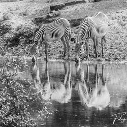 Zebra's in spiegelbeeld