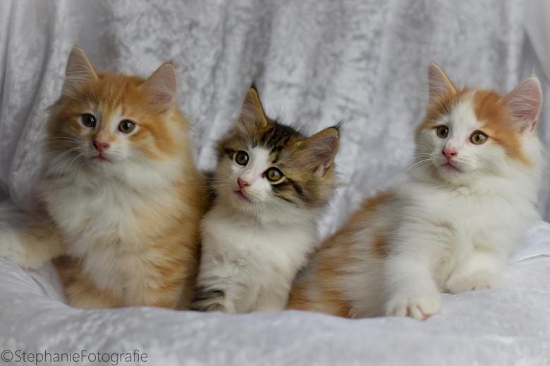 Ongekend Noorse boskat kittens | Dieren foto van stephanie86 | Zoom.nl IE-21