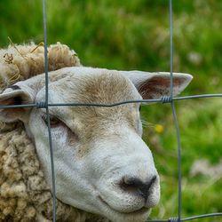 een schaap achter raster