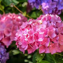 colourfull pink hortentia