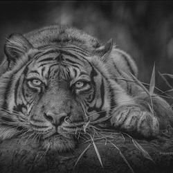 Sumataans tijgervrouwtje .