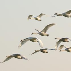 Mute swans side bij side.