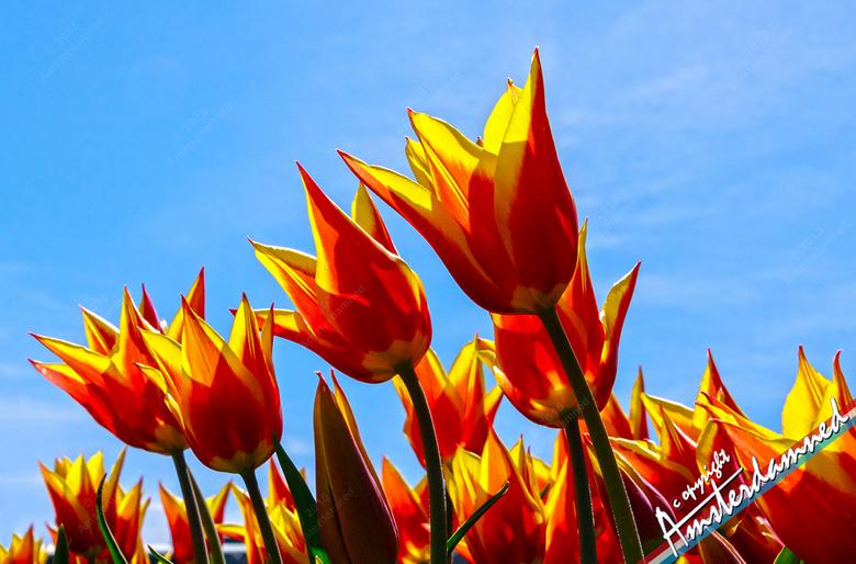 Wuivende gouden kroontjes - In de wind schommelende tulpenkopjes in een bloembollenveld in Lisse.
