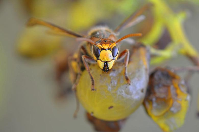 Een hoornaar op een druif - Hoornaars zijn gek op druiven, zo zaten er wel 7 op mijn druivenstruiken.<br /> Ik kon er gewoon tussen staan want ze had