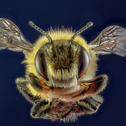 Portret van een honing bij