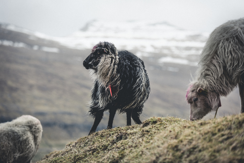 Sheep of the Faroe Islands - De Faeröer Eilanden staan bekend om het Faeröerse schapenras. Een prachtig ras schapen dat werkelijk over, maar dan ook e