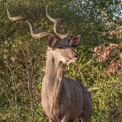 Koedoe , avondzon , Kruger park .