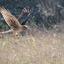Blauwe Kiekendief op jacht
