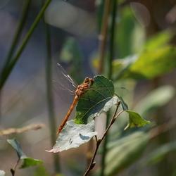 zonnebadende libelle