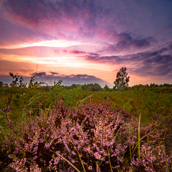 Purple Veen