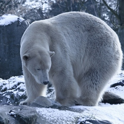 Cole Bear  ........