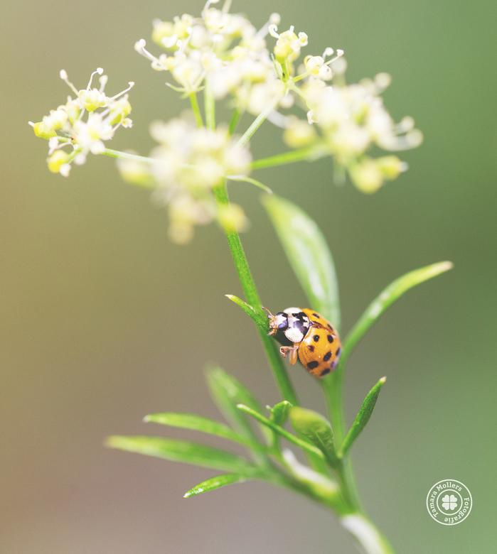 lieverheersbeestje