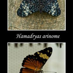 Hamadryas arinome
