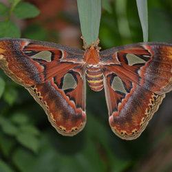 Atlasvlinder voor Eef(Beaumimi)