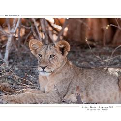 Lion, Kenia