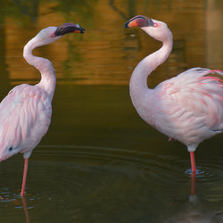 Flamingo dans!