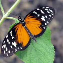 Vlinders in Amazonica