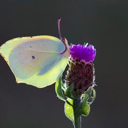 Citroenvlinder, Gonepteryx rhamni