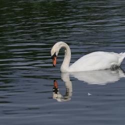 Zwaan bekijkt spiegelbeeld