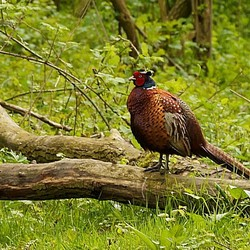 prachtige fazant