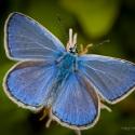 Lycaenidae (blauwtjes, vuurvlinders en kleine pages)