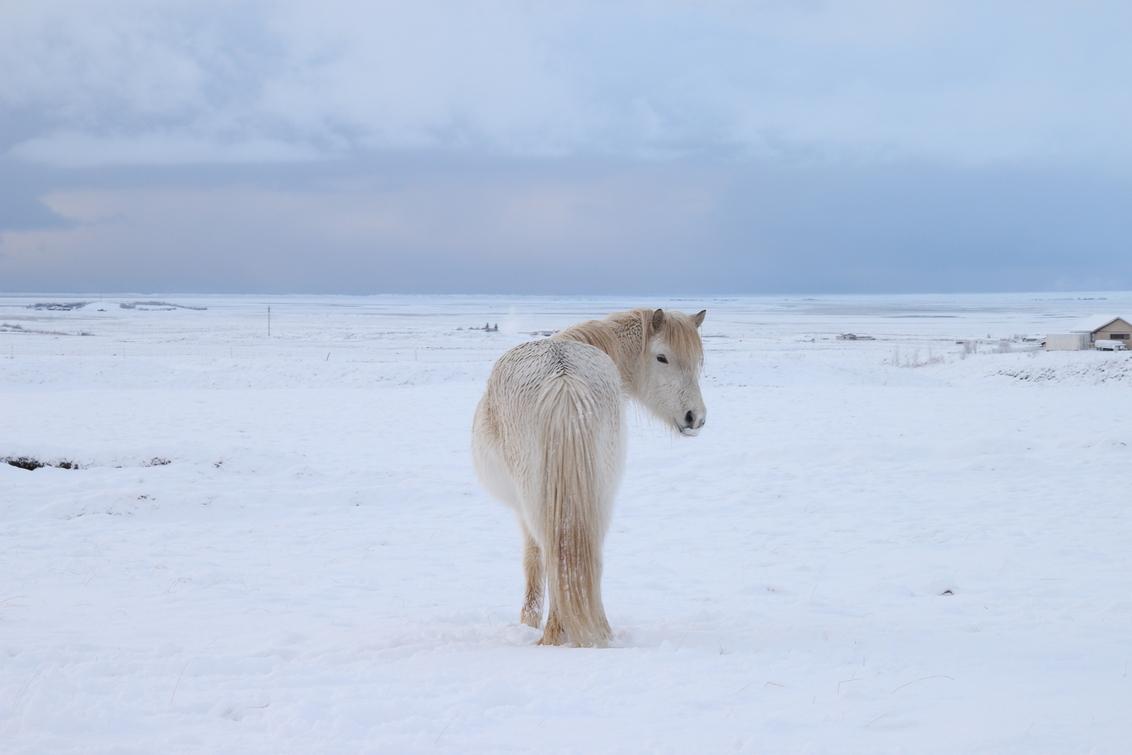 Paard, IJsland