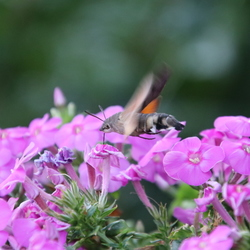 Kolibri vlinder in actie!