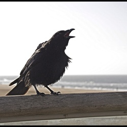 Crow on the Pier ...