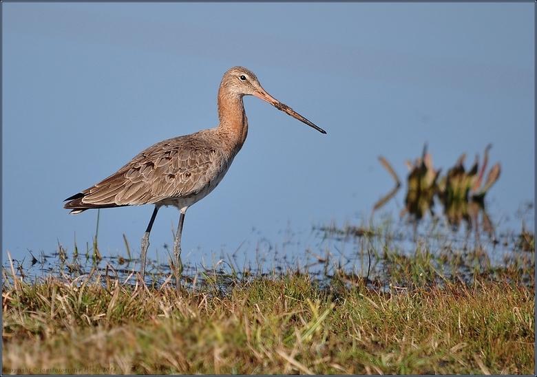 Grutto(vrouwtje) - ook hier in het lauwersmeer gebied zijn ze nu aangekomen foto van vanmorgen 25 maart 2014 ons rondje Lauwersmeergr jans<br /> <br