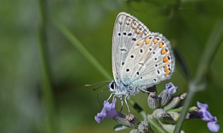 nabloei - Een paar vierkante meter tuin met wat lavendel in nabloei en een rijkdom aan vlinders. Ik heb in een paar dagen tijd meer vlinders gezien in