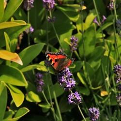 Vlinder bij de lavendel