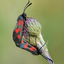 Vijfvlek-sint-jansvlinder