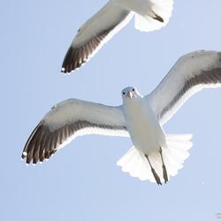 Nosy gull