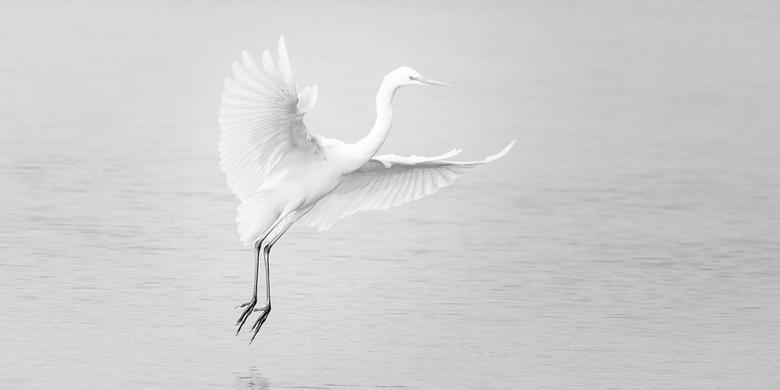zilverreiger - Om een of andere reden betrap ik mezelf er vaak op om deze vogel in high key te willen fotograferen