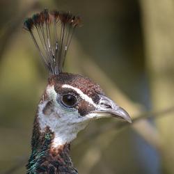 Gekroonde vogel...