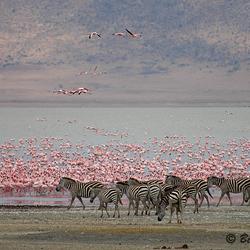 Flamingo's Ngorongoro krater Tanzania