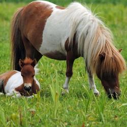 Mini-Paardjes