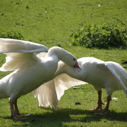 Goose fight!