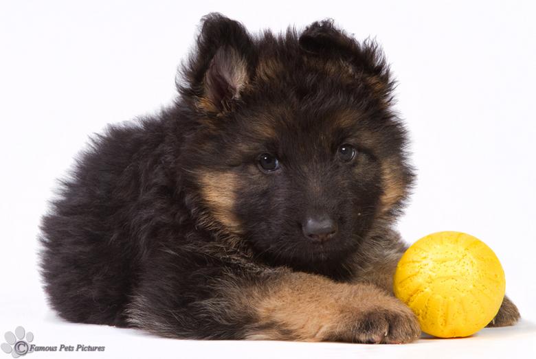 """Duitse Herder pup - gele bal - Ik begin het nieuwe jaar maar met een &#039;oude&#039; foto. <img  src=""""/images/smileys/smile.png""""/><br /> <br /> In"""