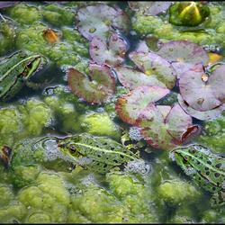 froggy-pool !..