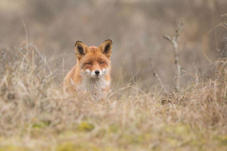 Over de top - deze vos kwam over een duin aan wandelen en stopte even om te kijken ...
