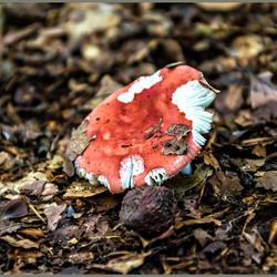Rode gehavende paddenstoel_DSC6156