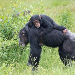 baby chimpansee op moeders rug