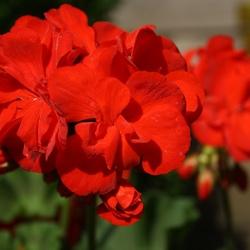 Rode Geranium 1