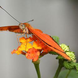 Le Papillion