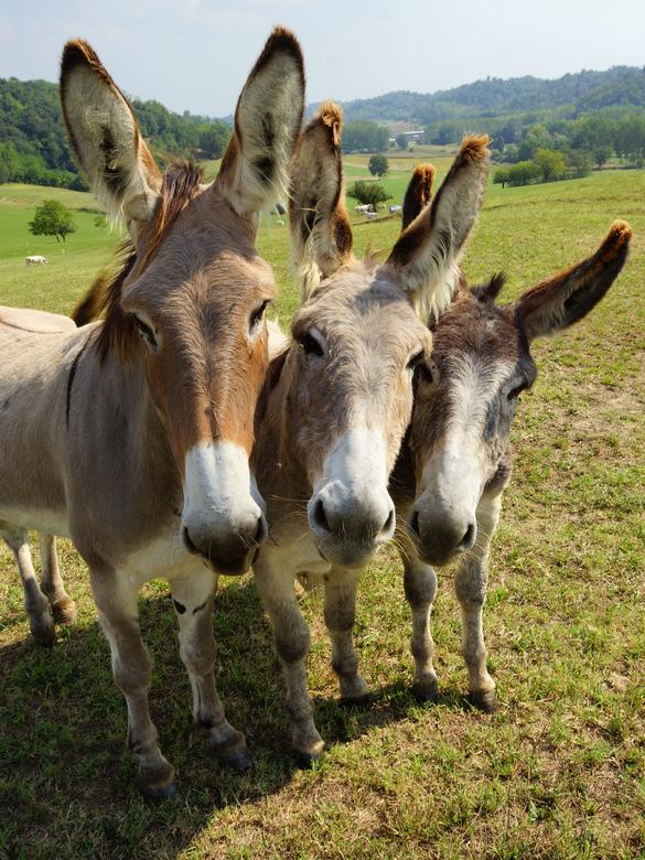 Een en al oor - Fotograferen is hard werken. Iedereen weet hoe koppig ezels zijn. Het kostte me dan ook ruim een half uur duwen en trekken om ze op de