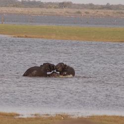 spelende babyolifanten