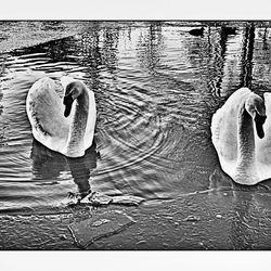 Zwanenpaar in een wak
