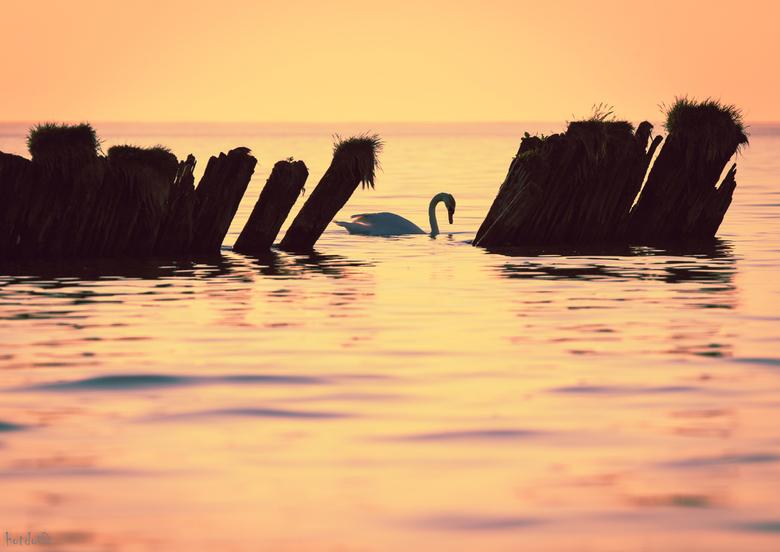 Zwaan - Vorige week tijdens het avondrood nabij Hindeloopen. Er waren twee zwanen aan het fourageren. Met wat geduld .... Bijzondere avond.<br />